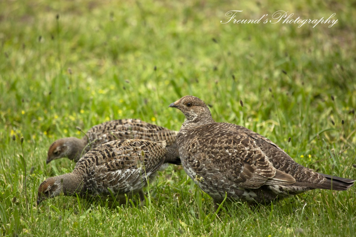 Sooty Grouse mamma and chicks
