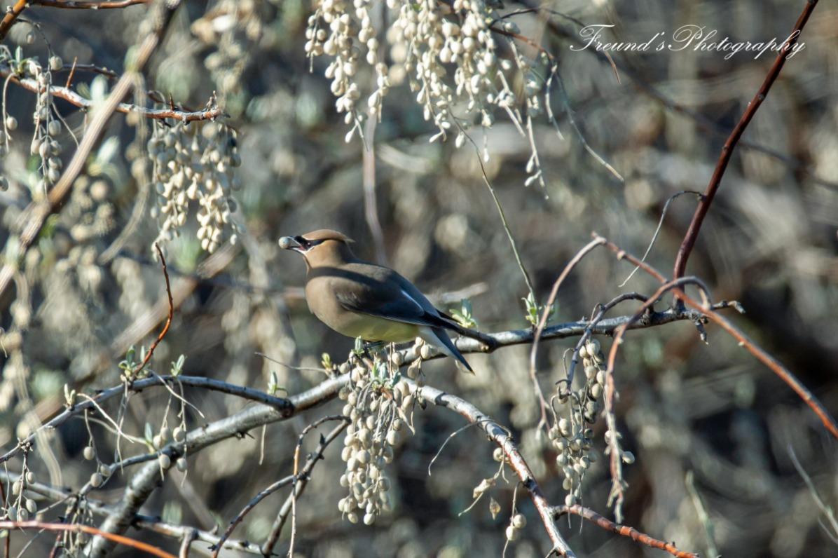 Cedar Waxwing eating spring berries