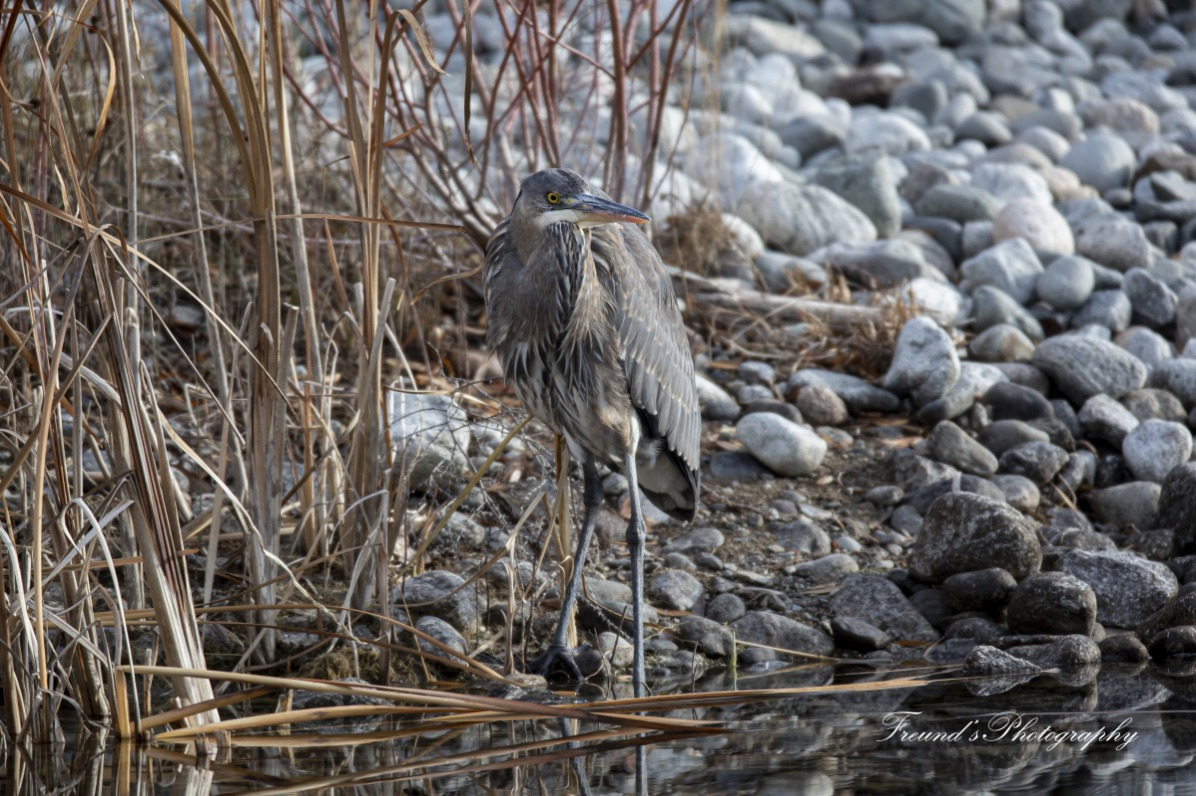 Great Blue Heron hunting a meal