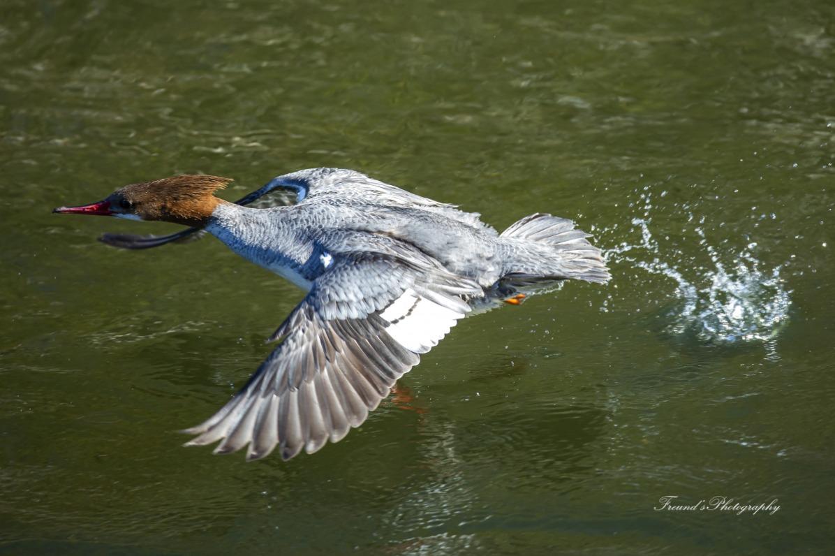 Common Merganser on the fly