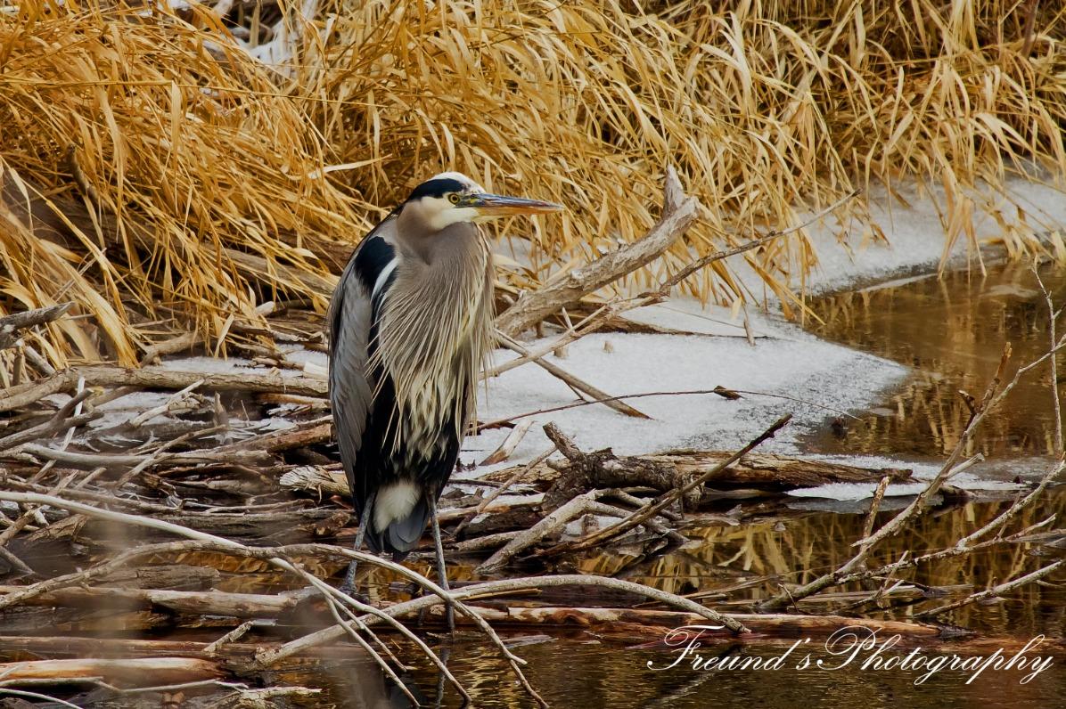 Blue Heron winter plumage