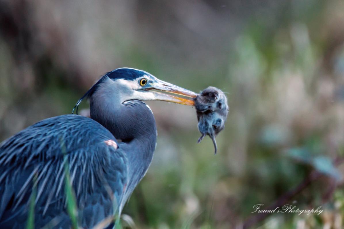 Heron having lunch