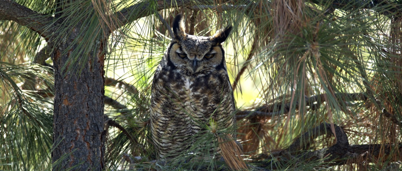 Great Horned Owl near Columbia River