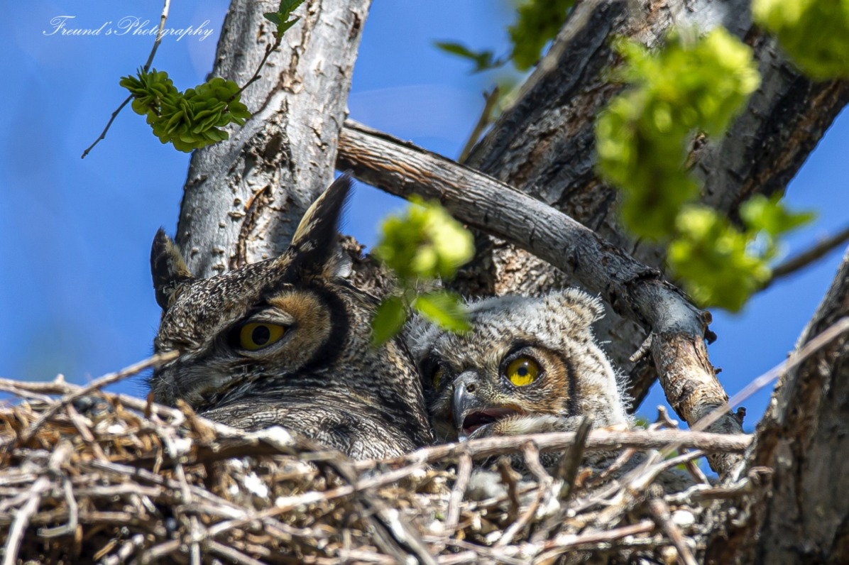 Momma great horned owl and nestling