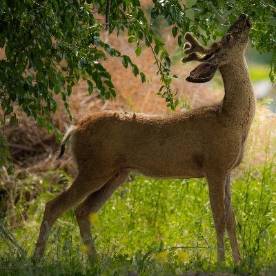 Deer wildlife viewing Methow Valley