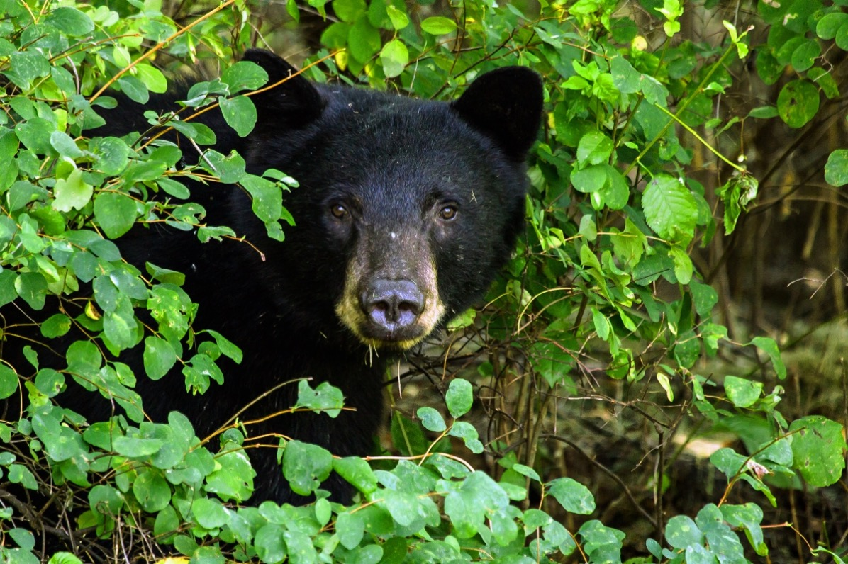 Black Bear Peeking Out of Bushes